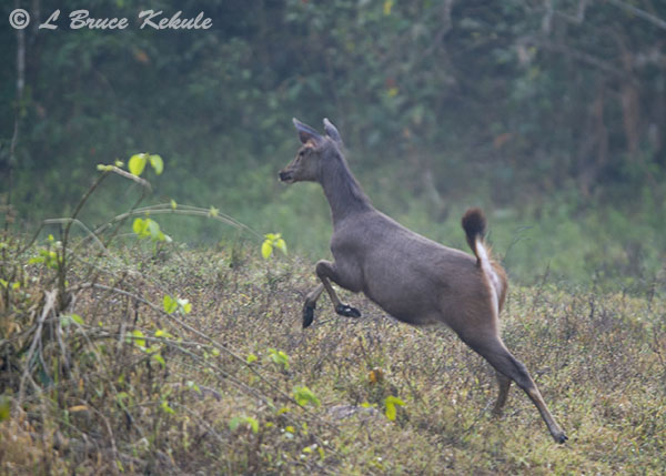Sambar doe on the run in Huai Kha Khaeng