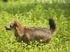 Asiatic jackal on the run in Huai Kha Khaeng