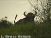 Bull gaur by the Khlong Saeng River