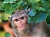 Crab-eating macaque in Sai Yok