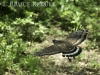 Crested serpent-eagle in Huai Kha Khaeng