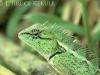Forest crested lizard in Kaeng Krachan