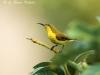 Olive-backed sunbird female in Sai Yok