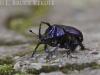Scarab beetle in Doi Inthanon
