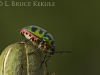 Leaf beetle in Lampoon