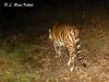 Indochinese tiger with collar in Huai Kha Khaeng