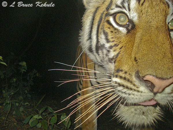 Female tiger by W55/1020