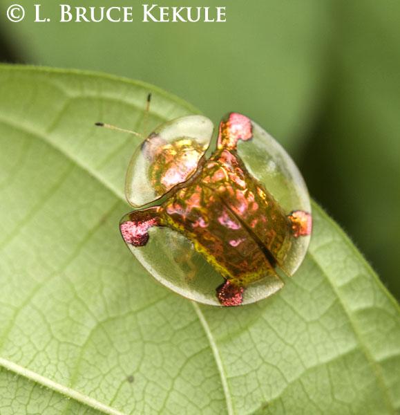 tortoise-beetle