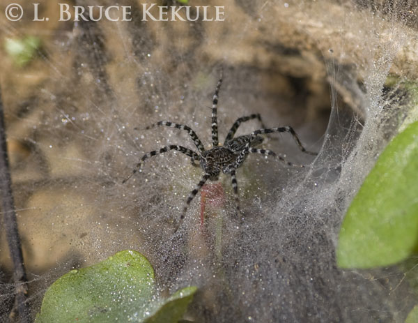 Tunnel-web spider in Khao Ang Rue Nai