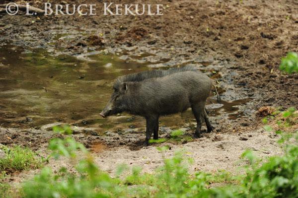 Wild pig in Huai Kha Khaeng