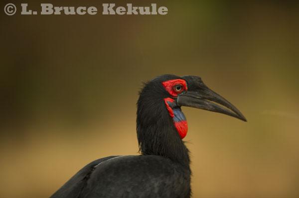 African ground hornbill in Kenya