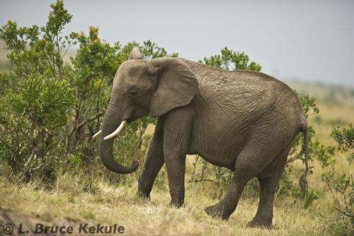 African elephant in Masai Mara