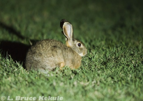 African hare in Sweetwaters