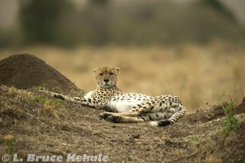 Cheetha male resting
