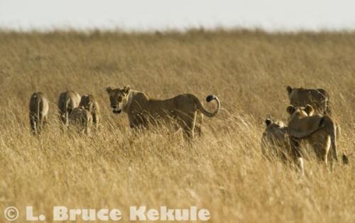 lion-pride-w