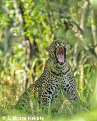 Leopard mother in Kenya