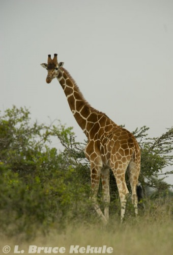 Reticulated giraffe in Sweetwaters natural reserve