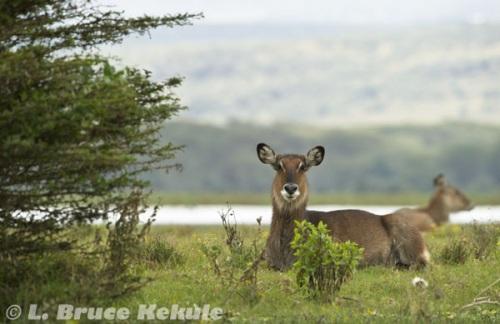 Waterbuck female in Lake Nakuru National Park