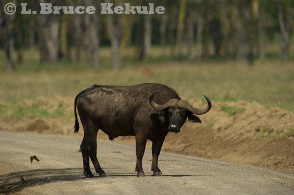 Cape buffalo bull at Lake Nakuru