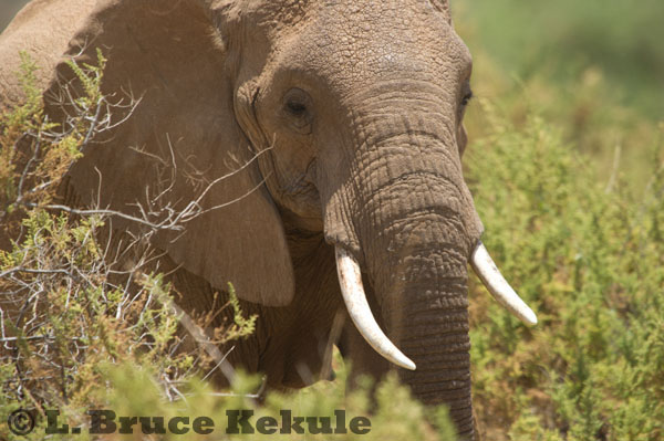 African elephants at Samburu, Kenya
