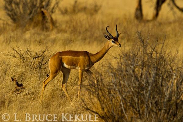 Gerunuk in Samburu
