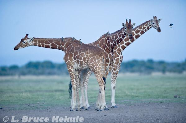 Giraffes in Sweetwaters