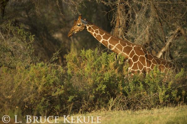 Giraffe in Samburu
