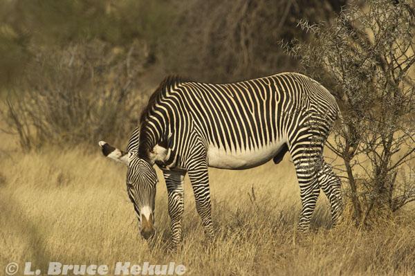 Grevy's zebra in Samburu