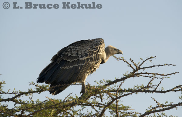 Griffon vulture in the Maasai Mara