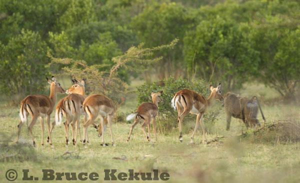 Impala and baboon in the early morning light at Maasai Mara