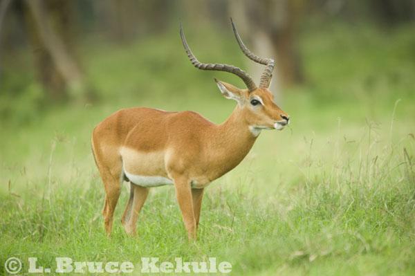 Impala buck at Lake Nakuru