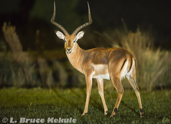 Impala buck at night in Sweetwaters
