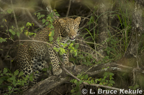 leopard cub in a dry streambed