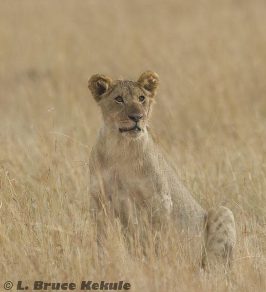 Female lion in the savanna of Masai Mara