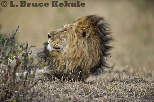 African male lion - sleepy in Maasai Mara