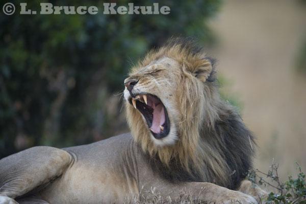 African male lion yawning in Maasai Mara