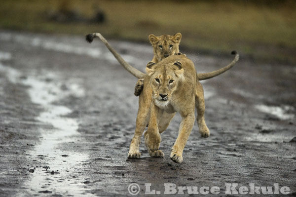 Lion mother and cub in Maasai Mara