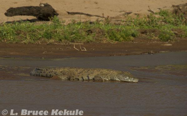 Nile crocodile in Samburu National Reserve