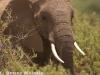African elephant in Samburu