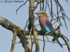 African lilac roller in the Masai Mara