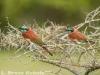 Bee-eaters in Lamu Island
