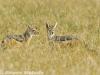 Black-backed jackal pair in Sweetwaters