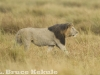 Black-maned lion in Maasai Mara