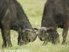 Cape buffalo in lake Nakuru
