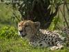 Cheetha in the Masai Mara