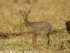 Dik-dik antelope in Samburu