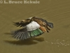 Egyption goose taking off