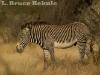 Grevy\'s zebra in Samburu