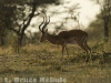 impala-in-the-morning-w
