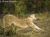 Lion stretching in the Masai Mara